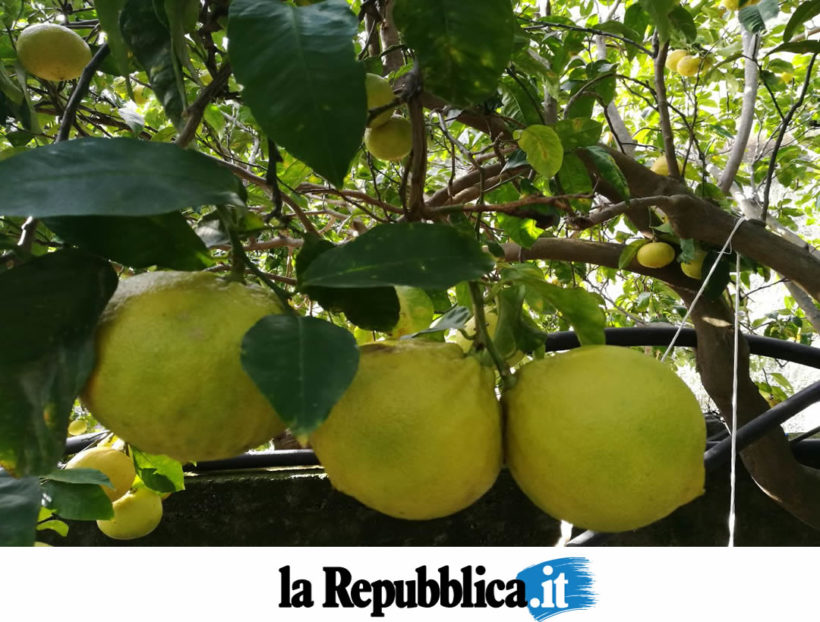 Bergamotto, quel tesoro di Calabria che combatte il colesterolo cattivo – La Repubblica.it Salute