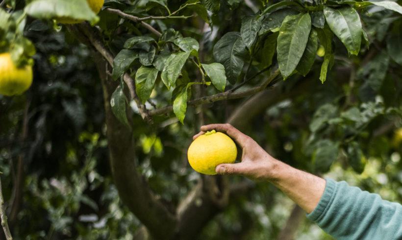 BERGAMOTTO PREZZO AL KG PER LA RACCOLTA 2020/2021 – Il comunicato ufficiale del Consorzio del Bergamotto