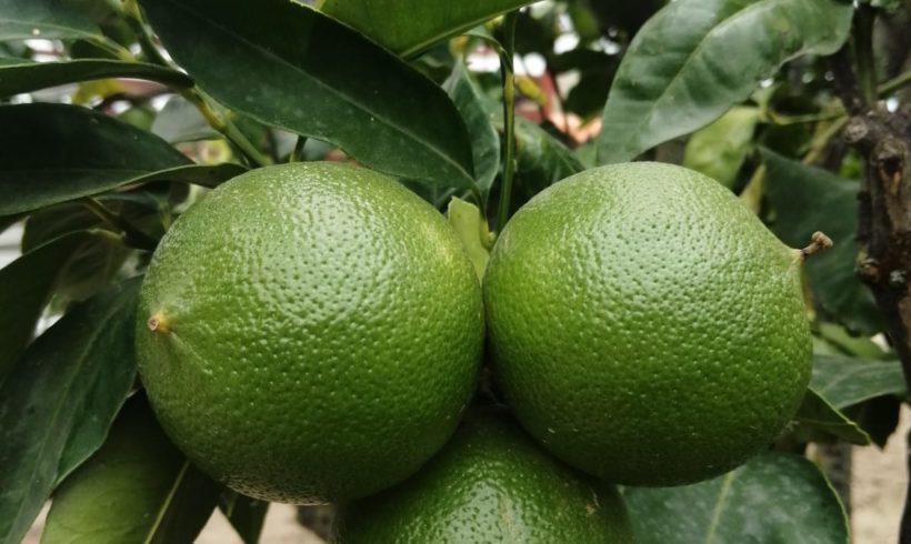 Nuovi Bergamotteti per incrementare la produzione dell'Azienda Agricola Patea.